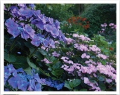 A photo of blue and pink hydrangeas